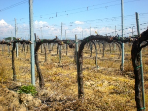 Vines in Umbria, at Lamborghini.